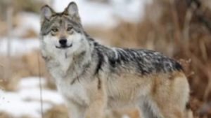 Mexican_Gray_Wolf