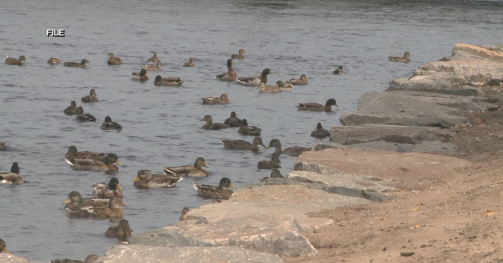 Wisconsin Rapids Common Council votes to ban waterfowl on public property