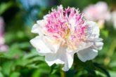 fleur blanche avec des pointes roses