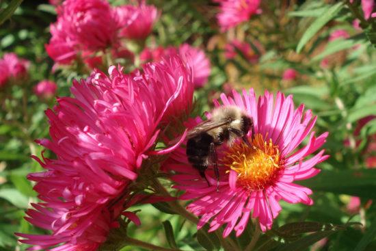 abeille dans une fleur rose
