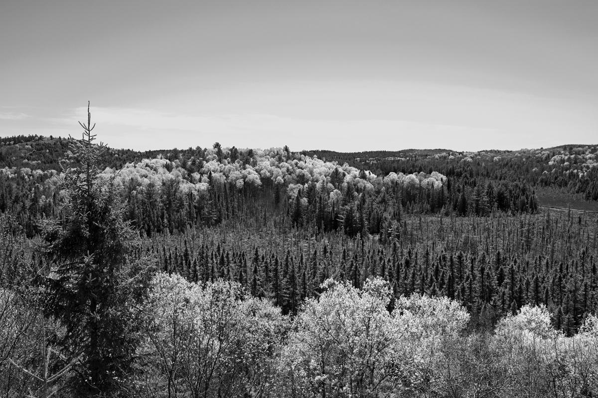 John Faragher, Algonquin Forest in Spring, 2019