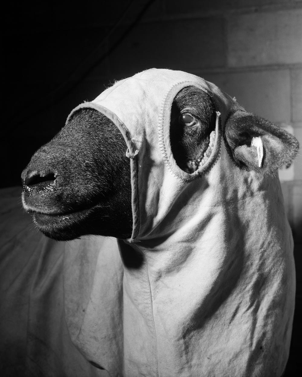 Alec Soth, Sheep, 1996. Archival pigment print, 24 x 30