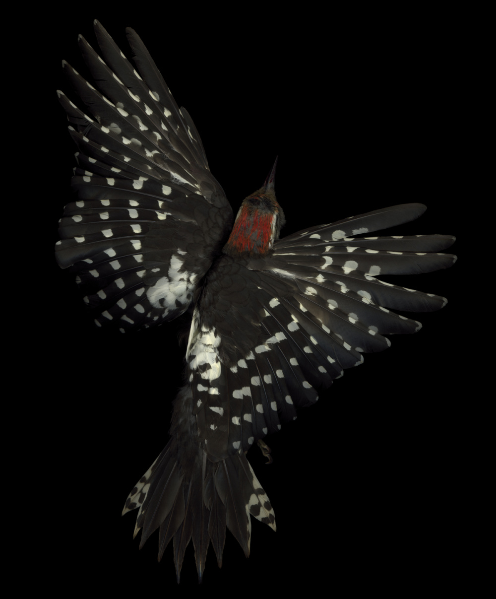 Edgar Leciejewski, Middle Spotted Woodpecker #03, 2005. From the series