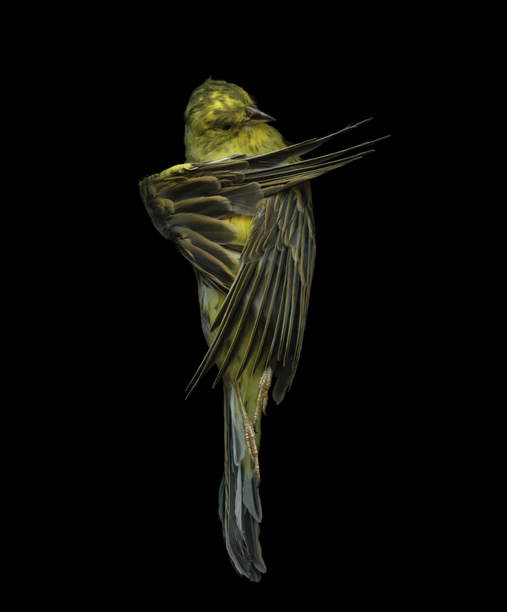 Edgar Leciejewski, Yellowhammer #07, 2009. From the series