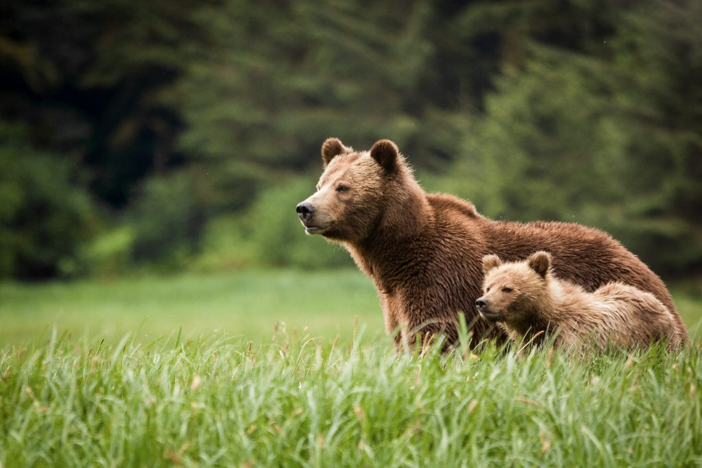Grizzly Bears at the Sanctuary