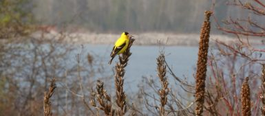 American goldfinch at Tommy Thompson Park
