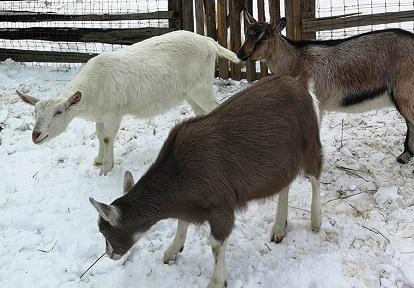heritage breed goats in pen at Black Creek Pioneer Village in winter
