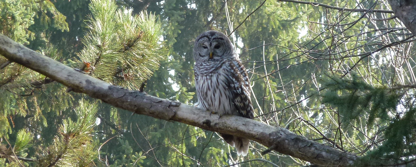 barred owl in tree at boyd conservation area