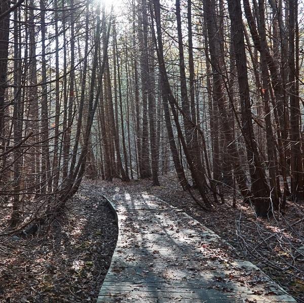 trail boardwalk in altona forest