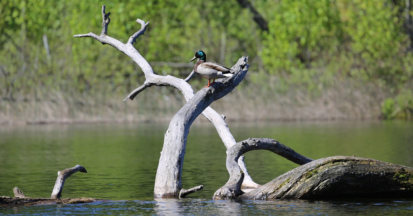 duck perches on submerged tree at Lake St George