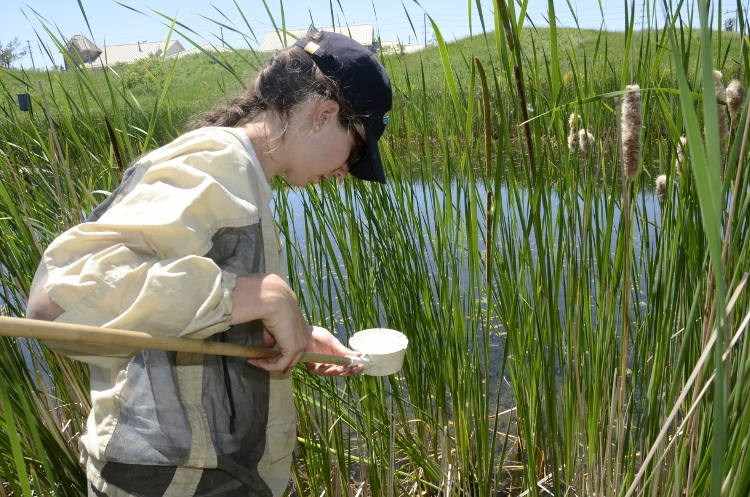 TRCA field staff examining dip net for mosquito larvae at a TRCA wetland.