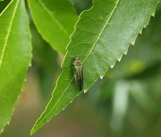 Emerald Ashborer on a leaf