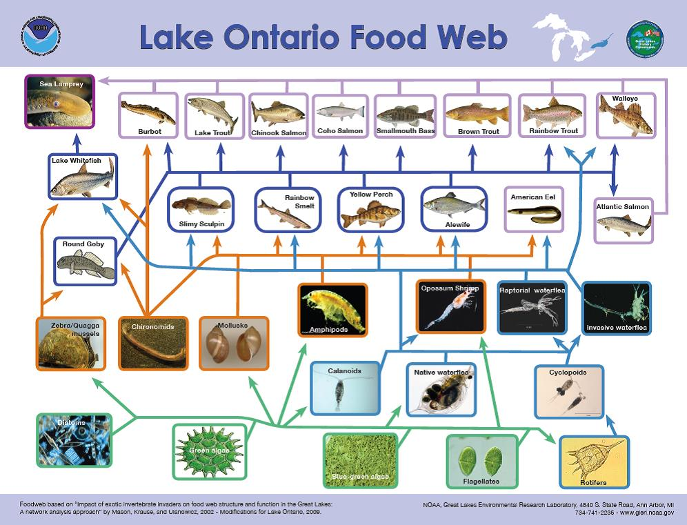 Lake Ontario food web illustrating that some algae is required as it is eaten by other biota within the lake. Image courtesy of NOAA Great Lakes Environmental Research Lab