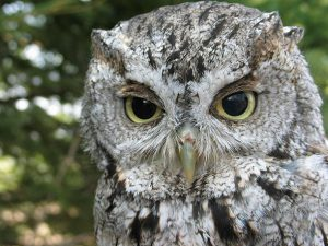 Hoot and Howl @ Online Webinar - Ages 6+