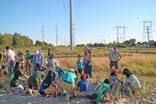People in the hydro corridor planting wild flowers