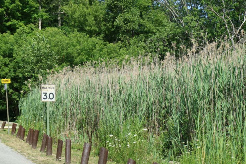 Phragmites along the road