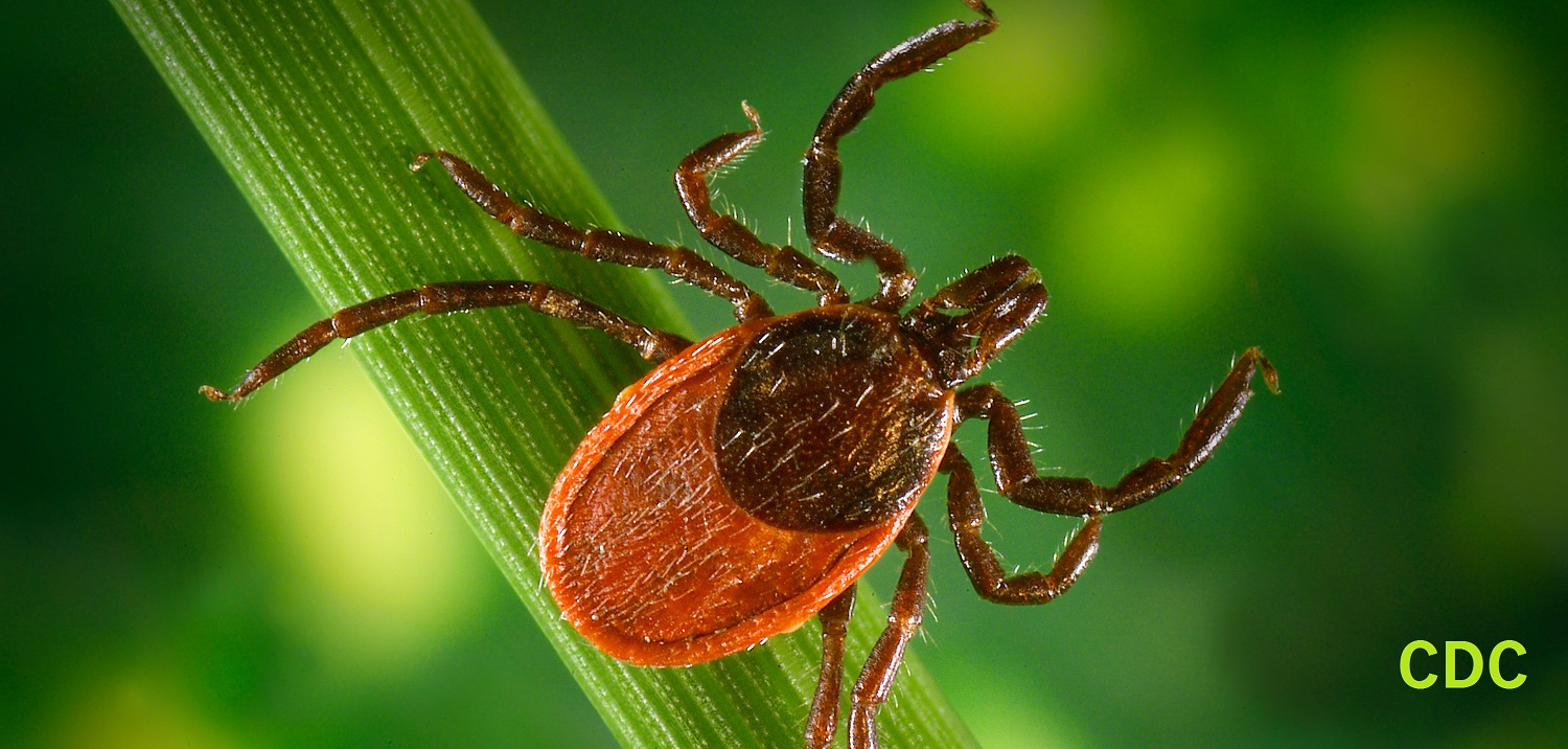 Black legged tick