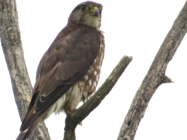 merlin is an example of local flora and fauna in TRCA watersheds