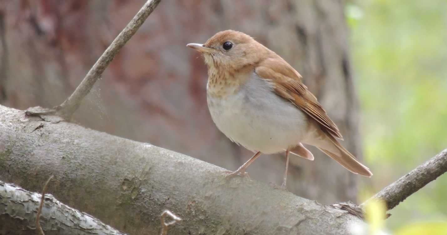 Veery is an example of local flora and fauna in TRCA watersheds