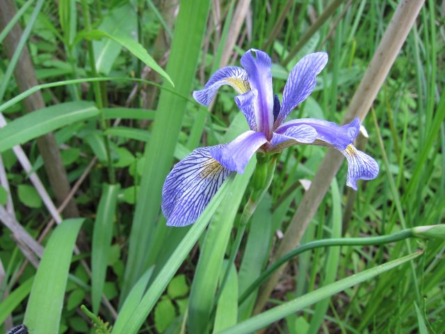 Blue Flag Iris is an example of local flora and fauna