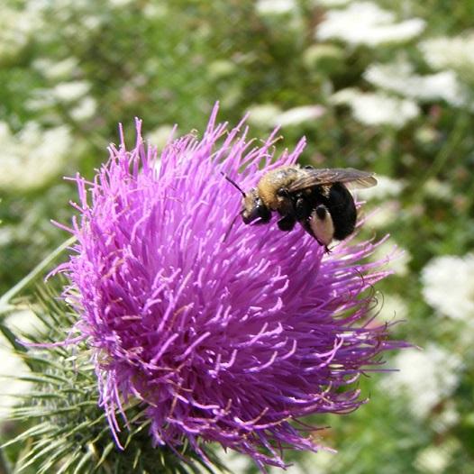 bee on Bull Thistle