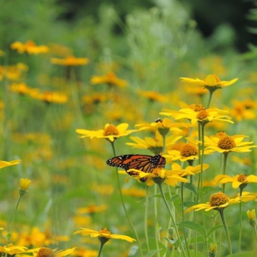 Monarch butterfly on Sweet Ox Eye