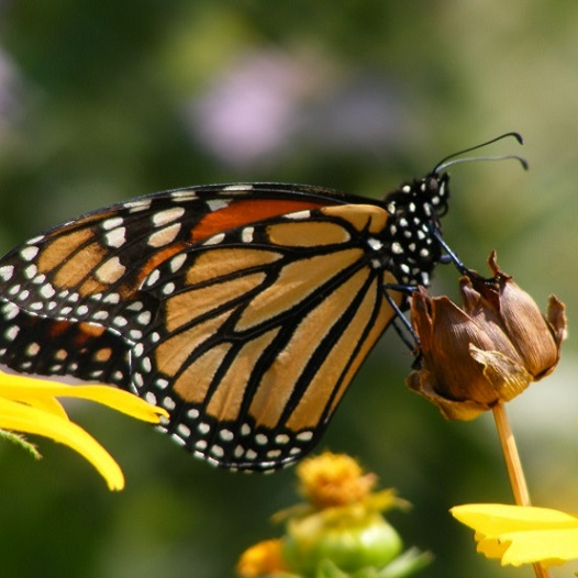 Monarch Butterfly on Coreopsis