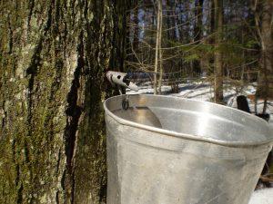 A sap bucket on a tree