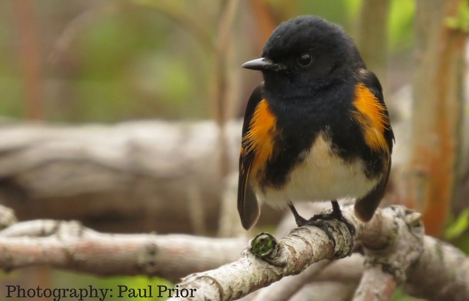 American redstart perched on a branch