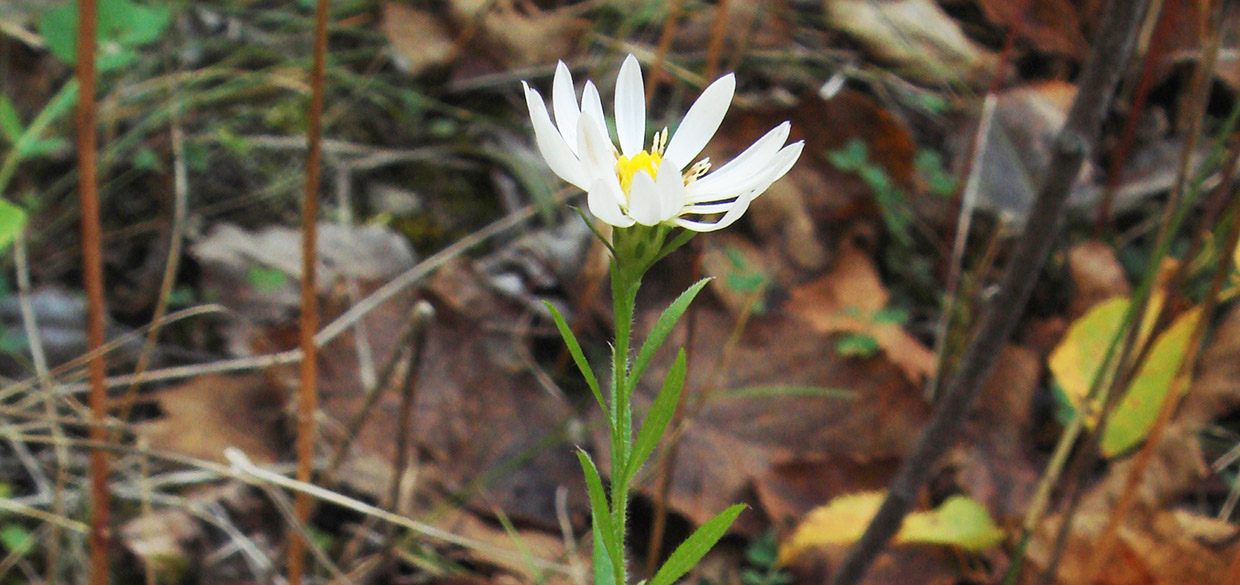 hairy aster