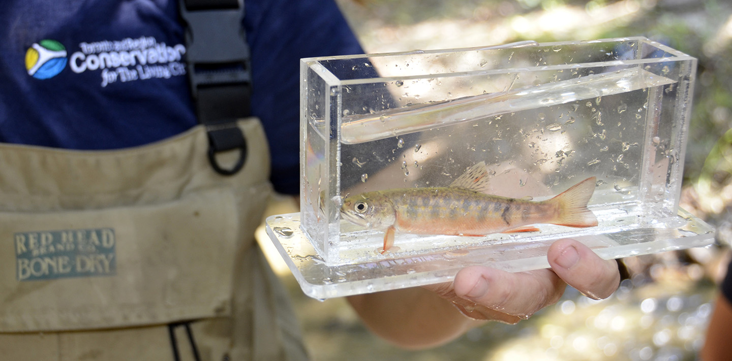 TRCA monitoring staff holds young brook trout