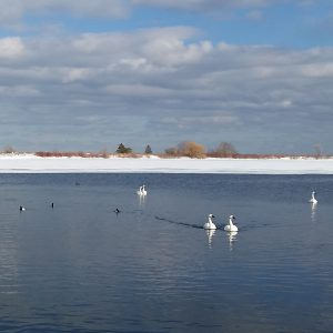 Waterfowl: Toronto's Winter Spectacle @ Tommy Thompson Park