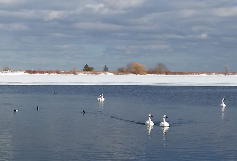 Winter waterfowl at Tommy Thompson Park