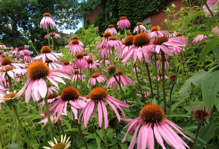 Native flowers, cone flowers