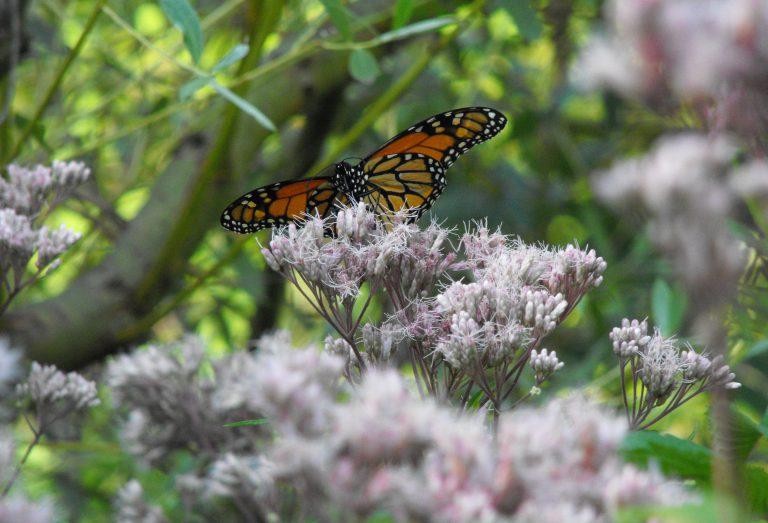 Monarch Butterfly on Joe Pye