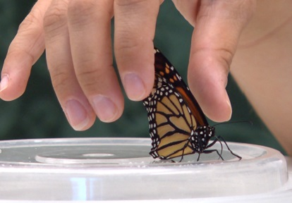 fingertips brush wings of Monarch butterfly