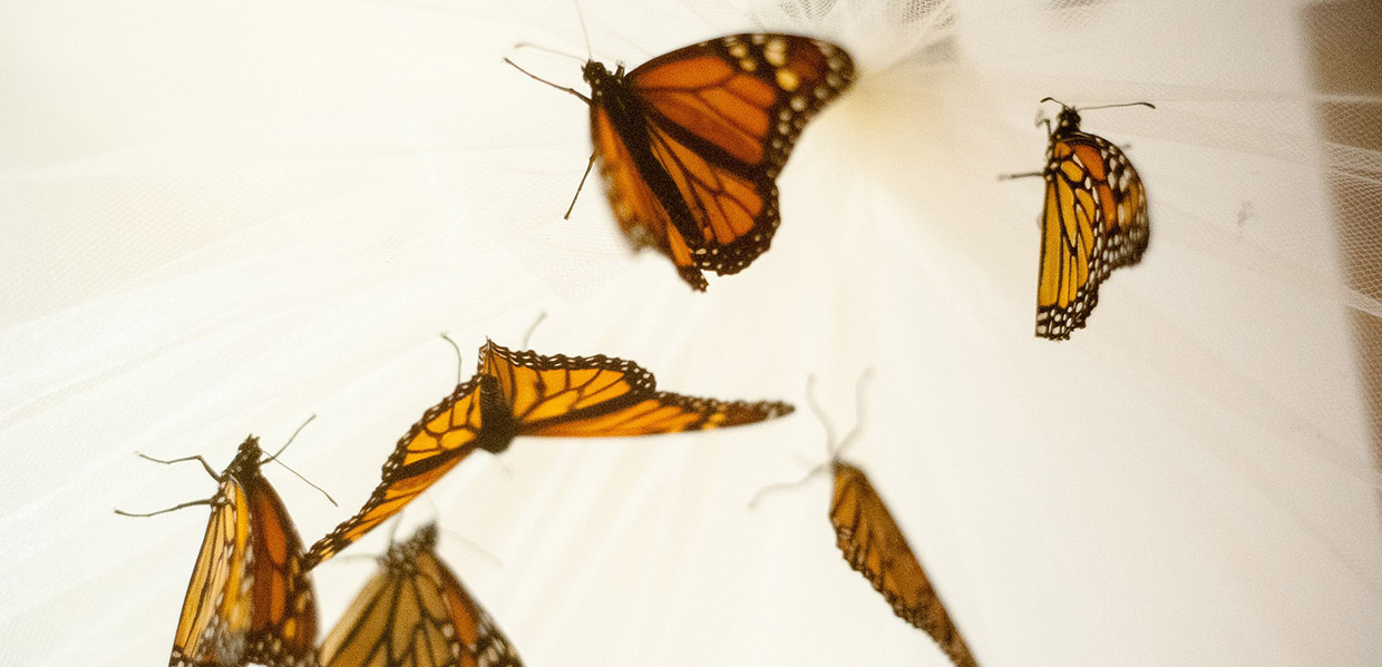 monarch butterflies in collector net