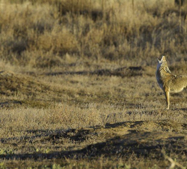 Species Spotlight: Coyotes in Urban Areas