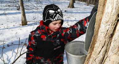 Looking into the sap bucket