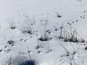 Workshop: Animal Tracking (Winter) @ Kortright Centre for Conservation