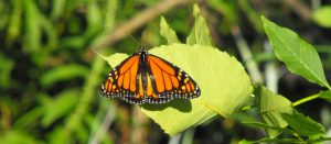 Creating Monarch-Friendly Habitat @ Mersey Tobeatic Research Institute | Windsor | Ontario | Canada