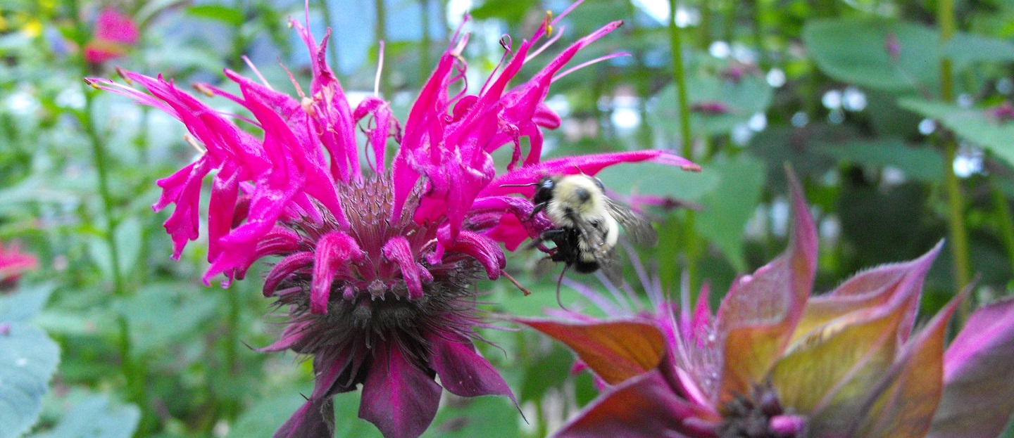 bee on bee balm flower