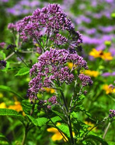 spotted Joe-pye weed (Eupatorium maculatum)