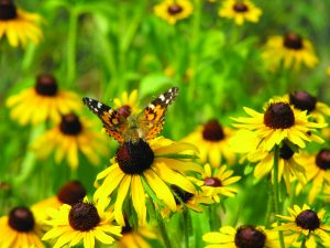 Painted Lady Butterly on Black Eyed Susan