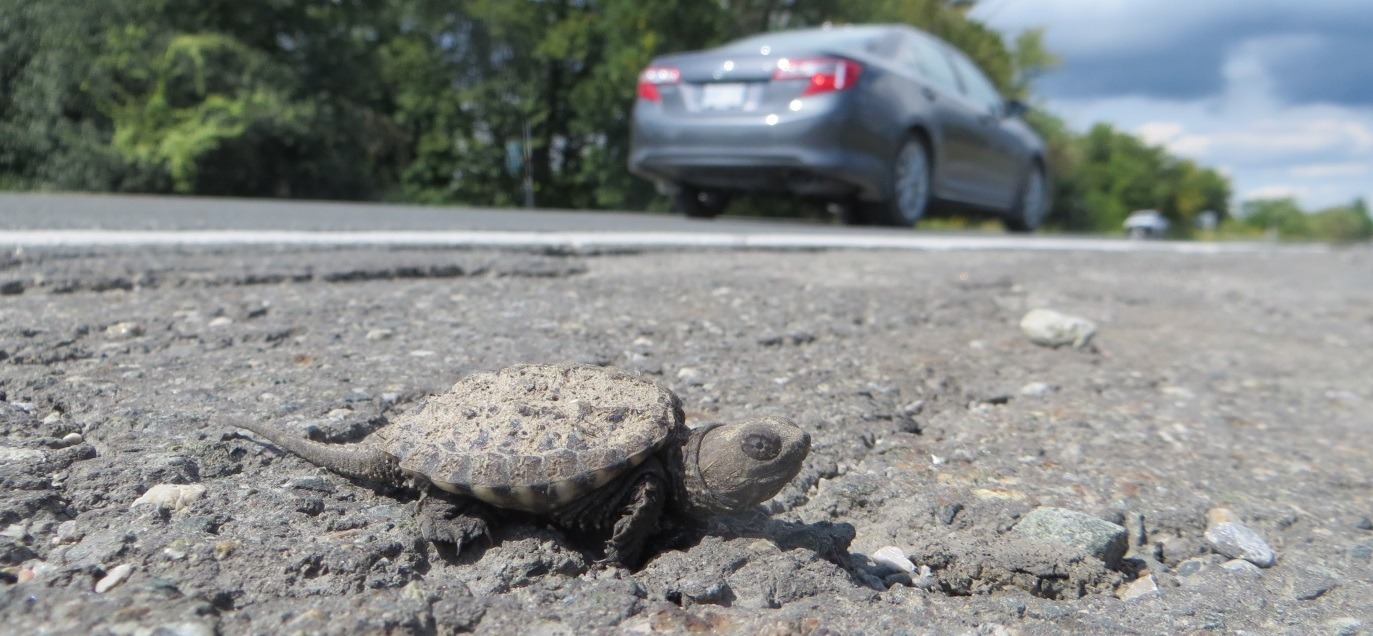 baby snapping turtle on side of road