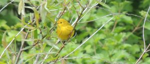 Warblers: Identifying the gems of spring migration (beginner) @ Tommy Thompson Park