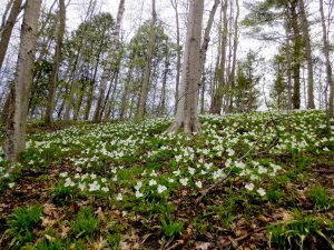 Trillium Trail Walk @ Oak Ridges Corridor,