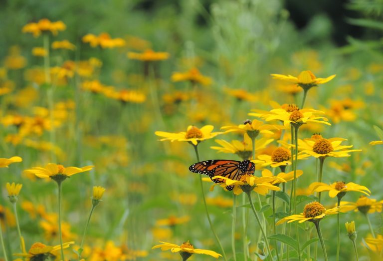 Monarch butterfly at The Meadoway