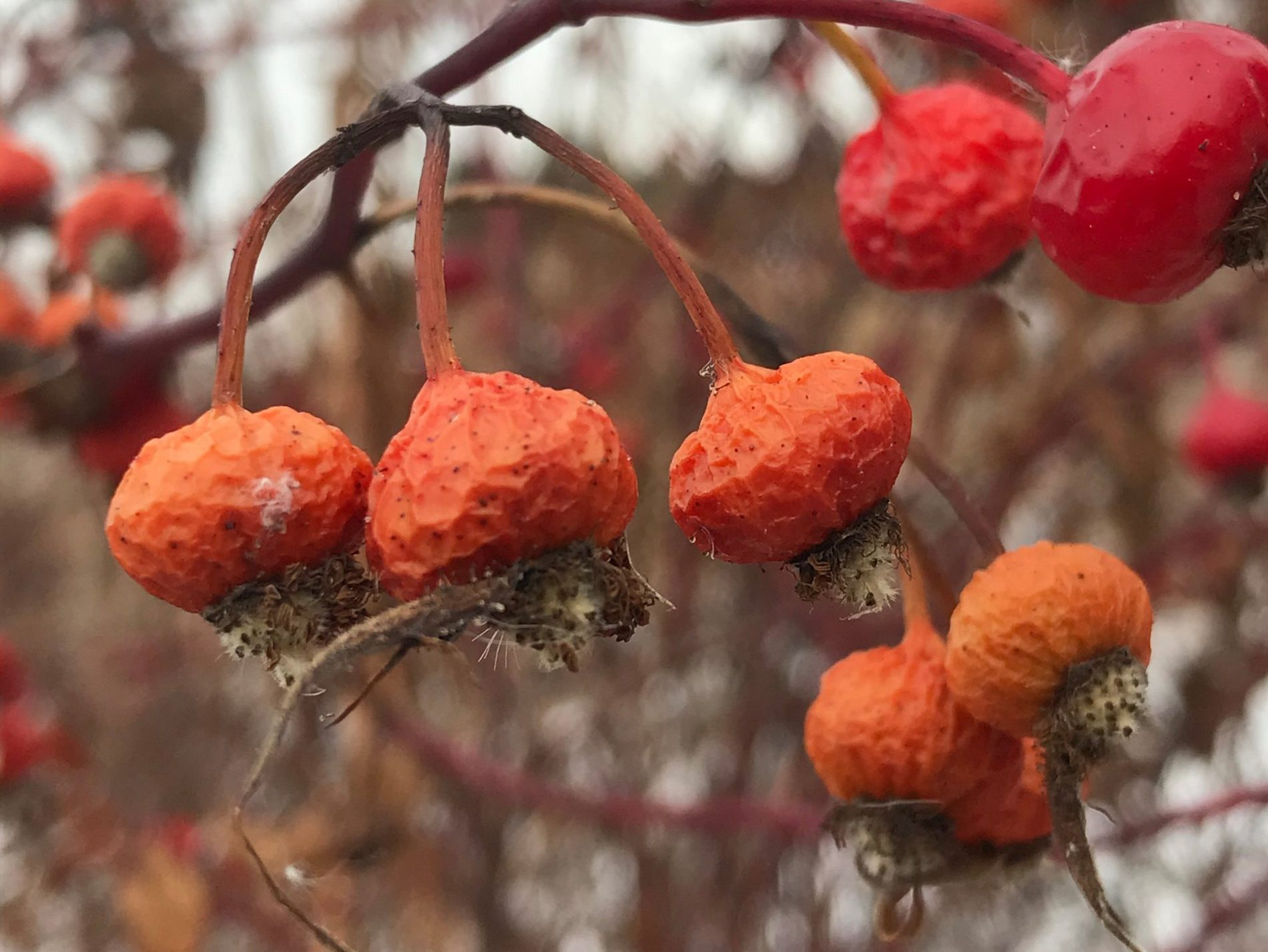 Dried red plant in The Meadoway in winter