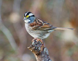 Workshop: Sparrows @ Kortright Centre for Conservation